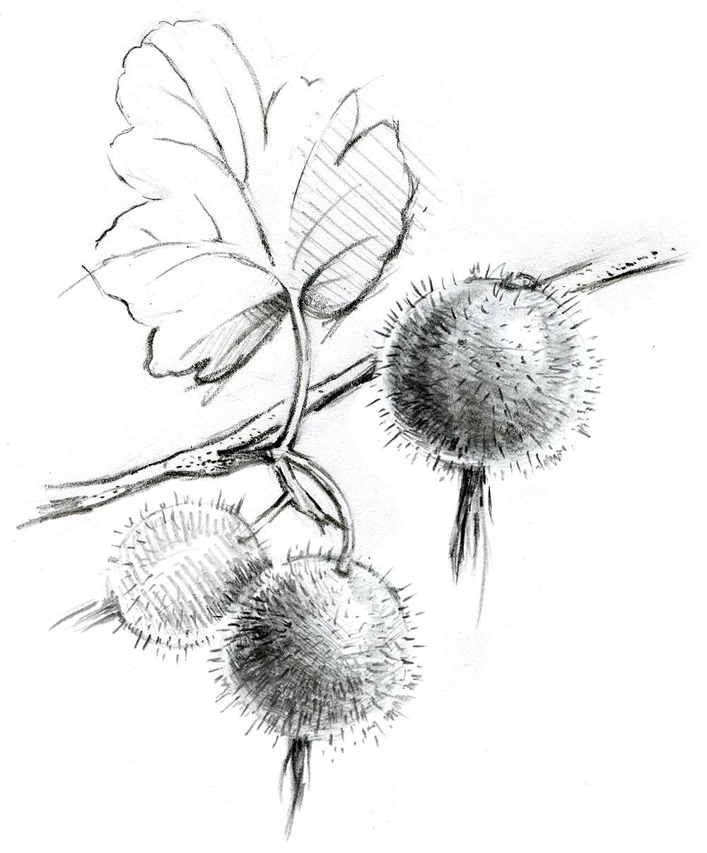 Drawing of plant with berries
