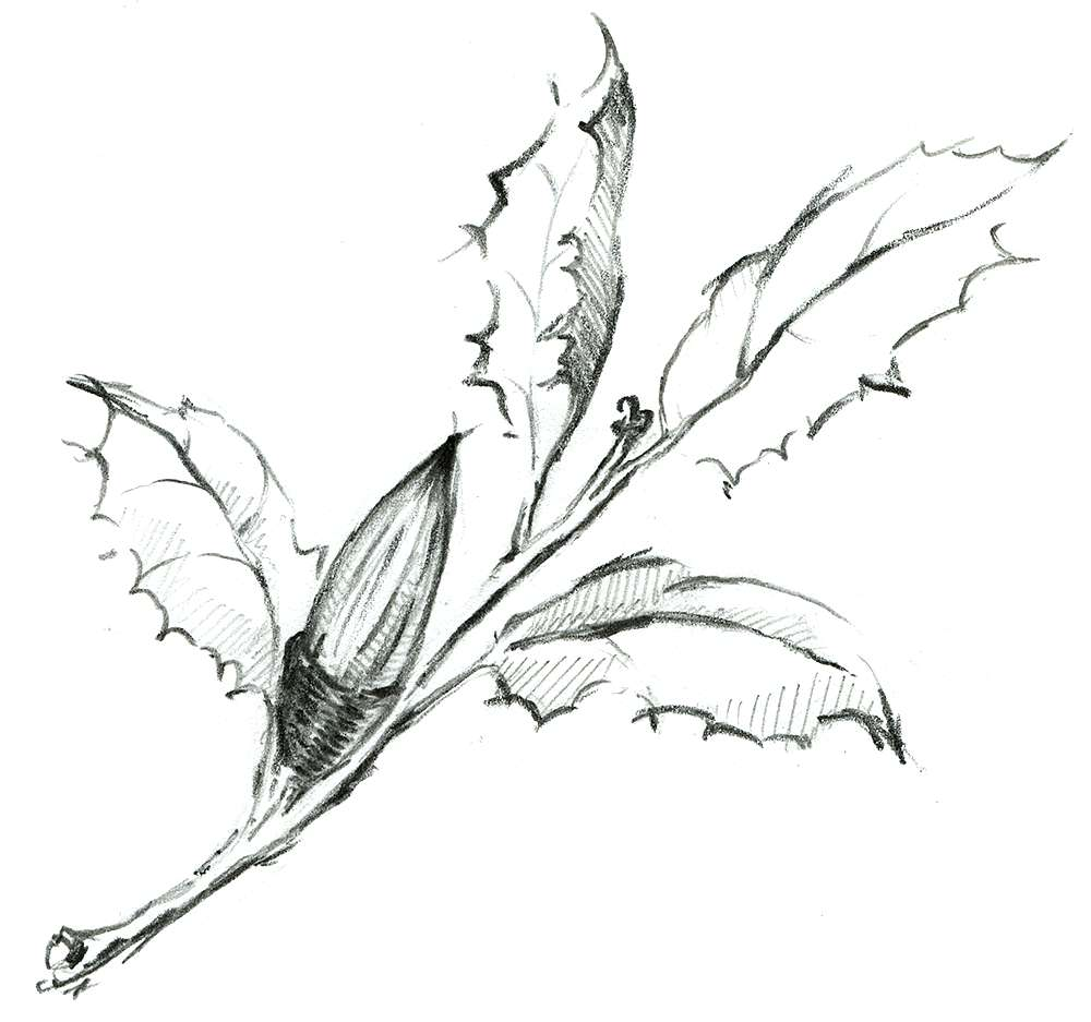 Drawing of plant with acorn