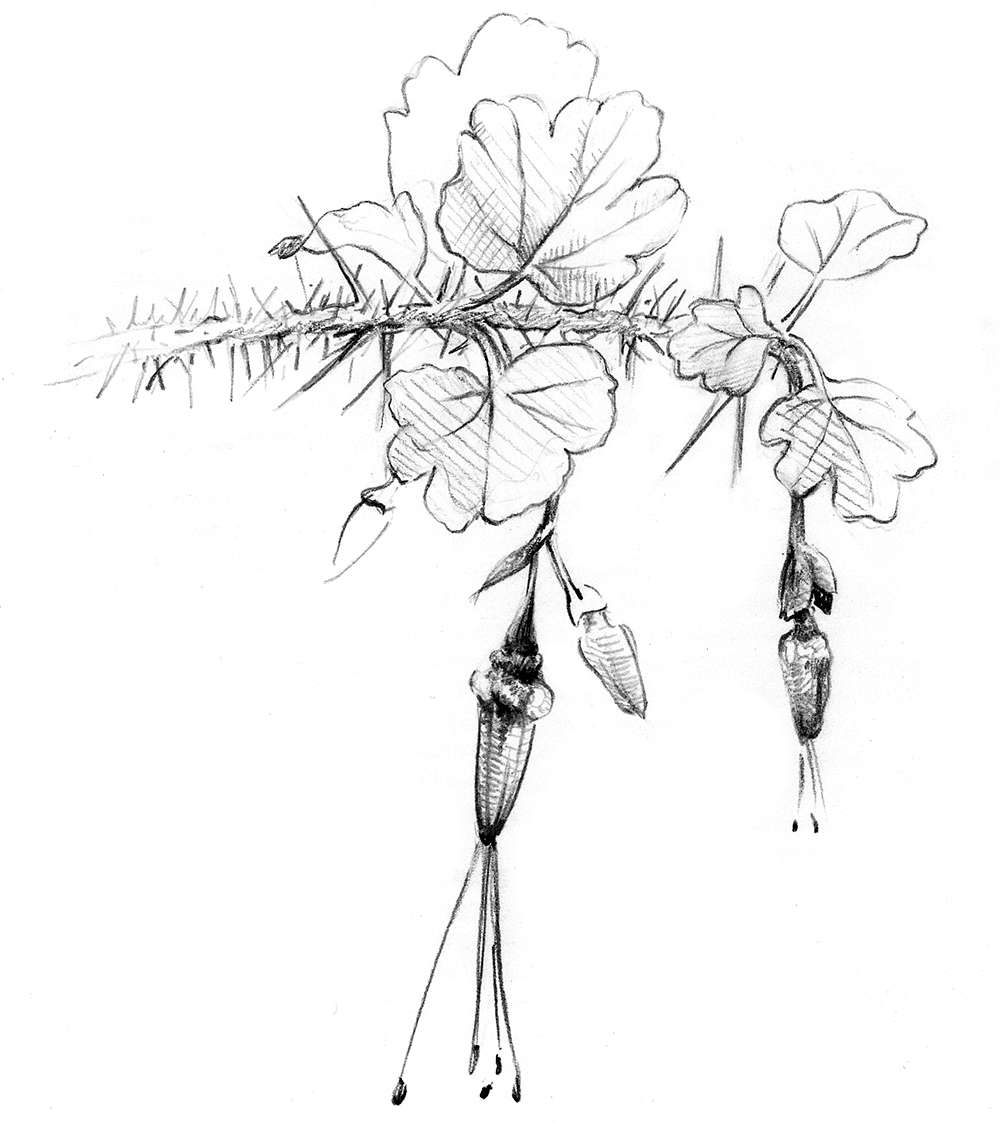 Drawing of plant with handing flowers