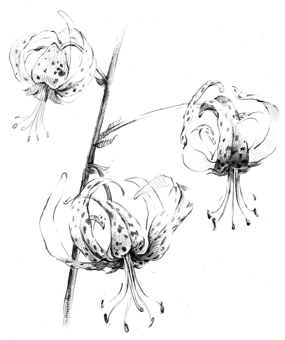 Drawing of plant with spotted flowers