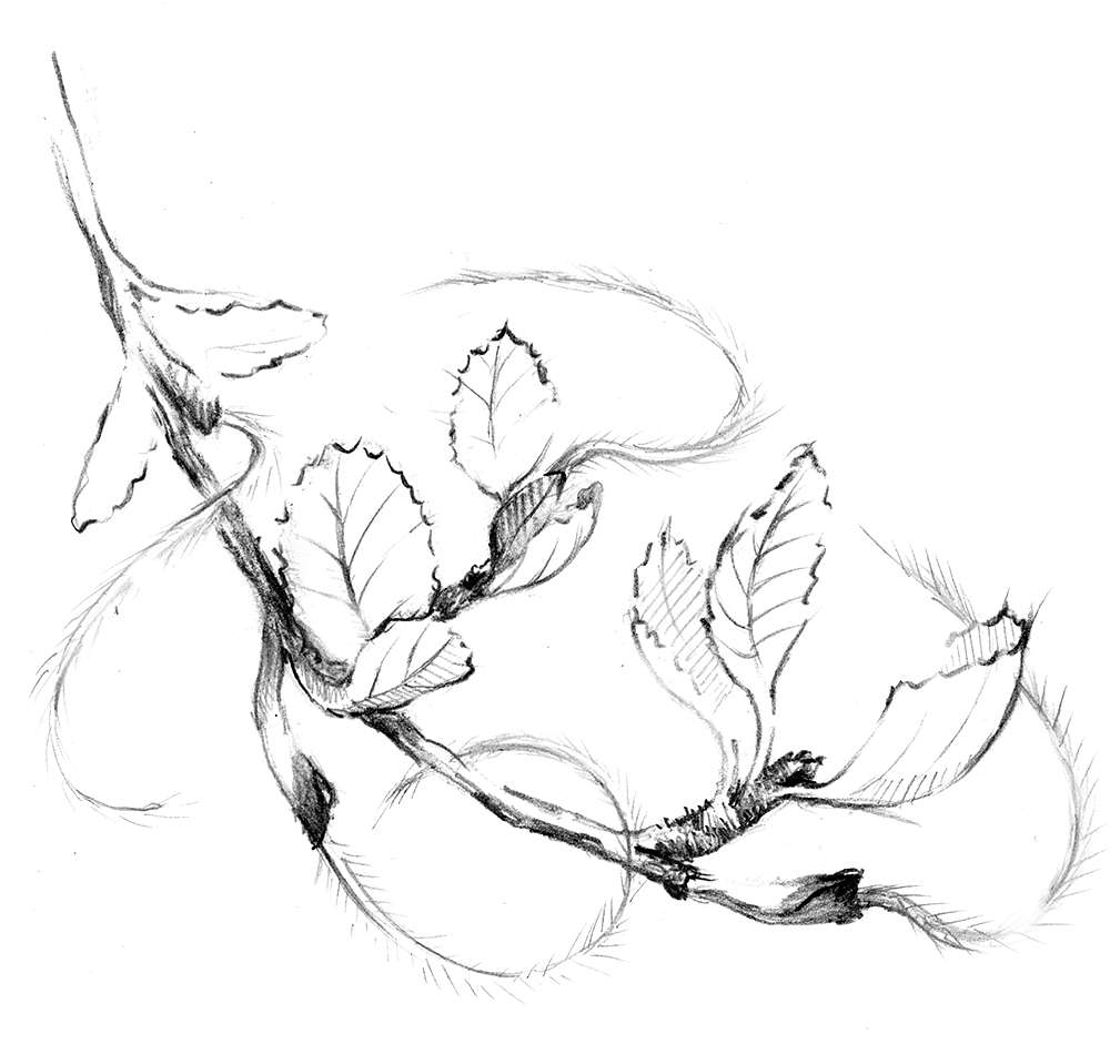 Drawing of plant with feathery flowers