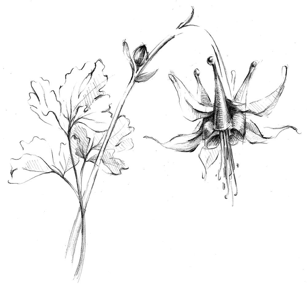 Drawing of plant