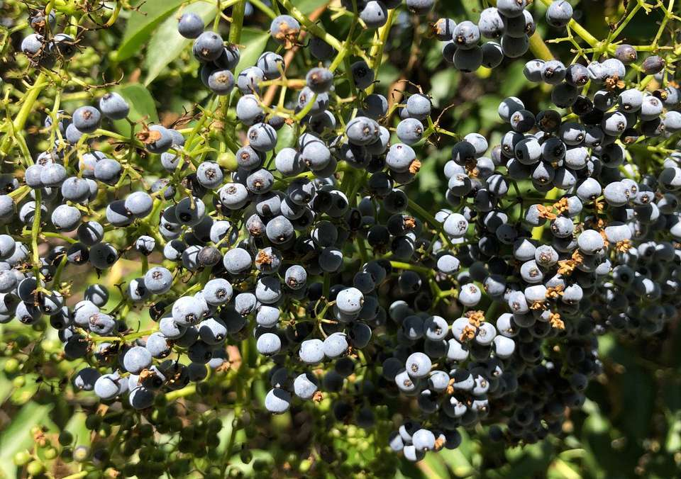 Blue berries of Blue Elderberry
