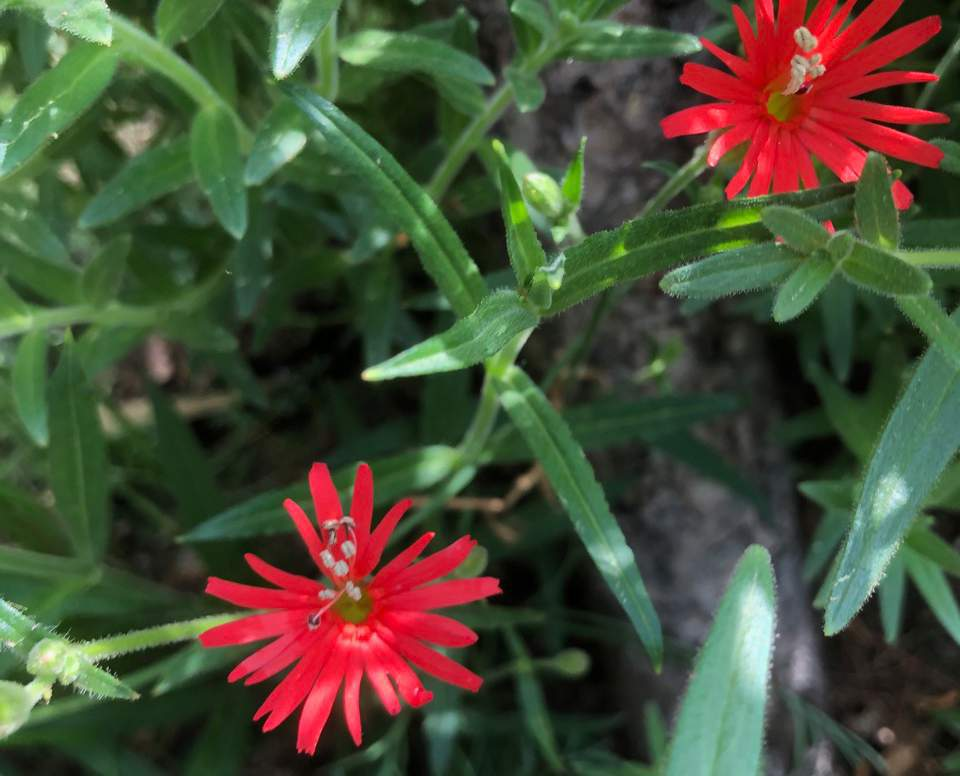 Red flower of the Cardinal Catchfly