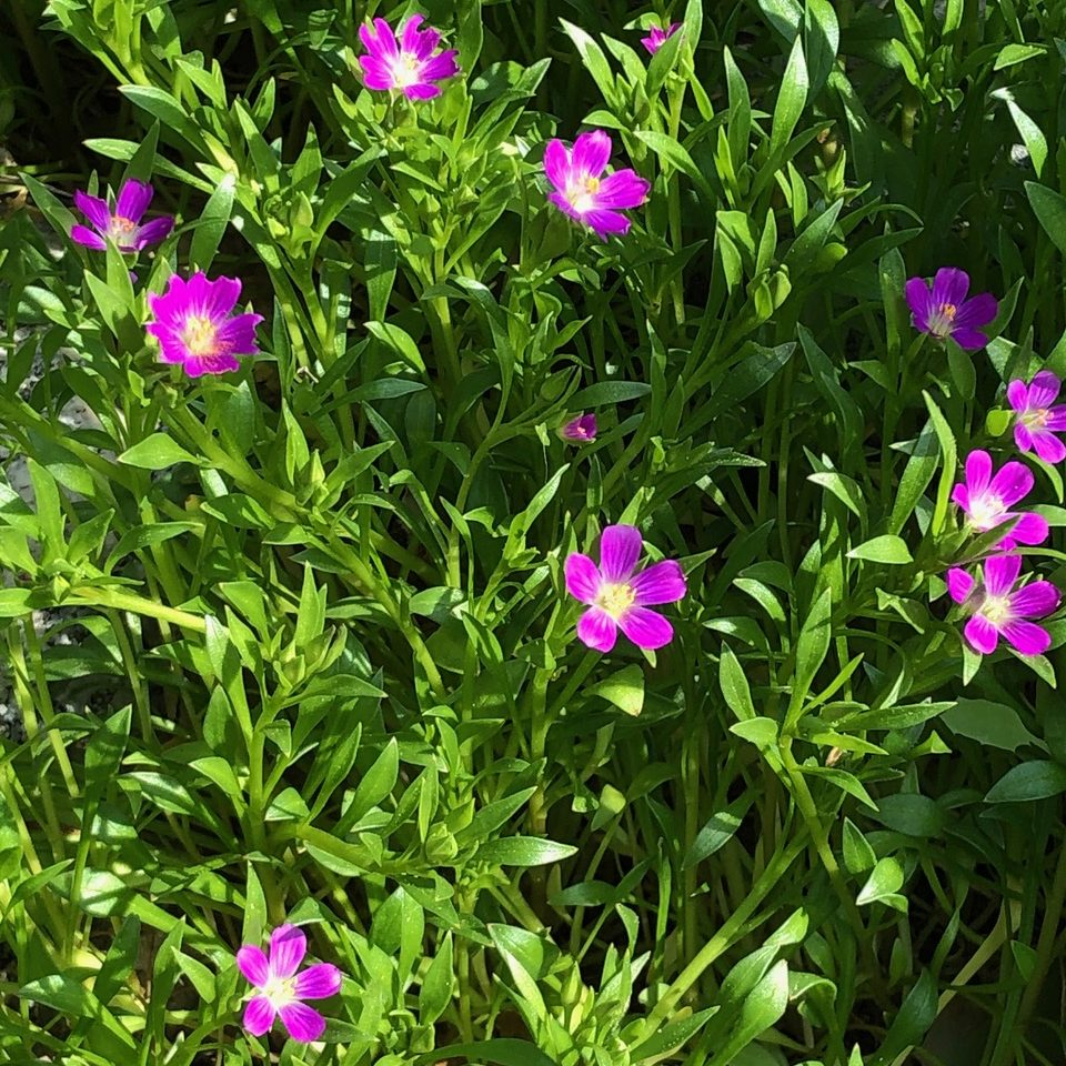 Plants with magenta flowers